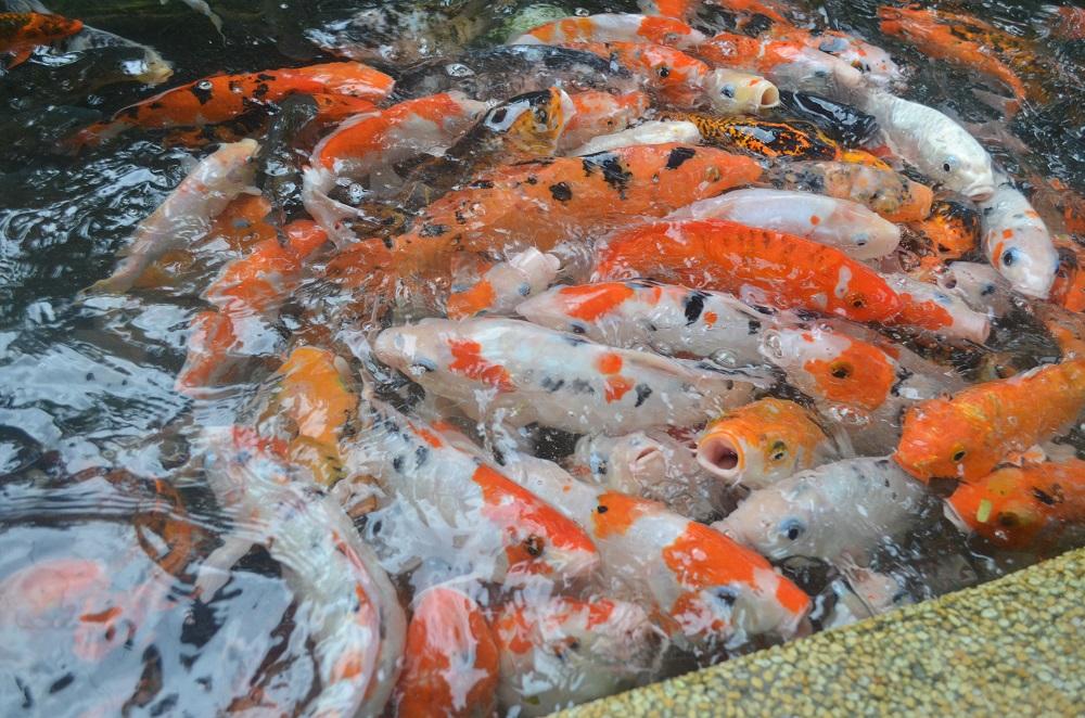 kuala_lumpur_bird_park_fish_feeding